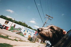 Dog head out car window