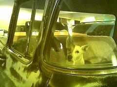 Dog_in_car_jon